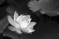 B+W-Lotus