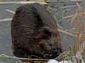 Beaver snacking..
