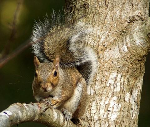 CanonFD300mm4.0L@4.0+ 2X Tele-Converter Squirrel A 1383Crop+1C-1M