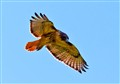 Red Tail Hovering