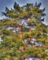 Pine tree contrasts