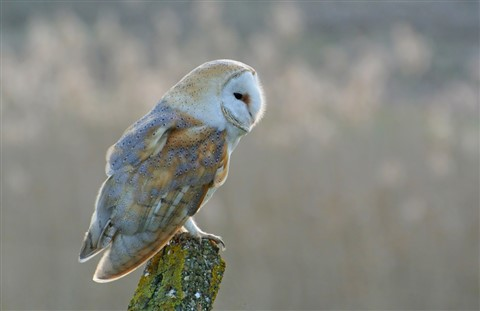 Barn Owl Distant Reeds (1024px)