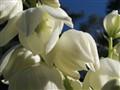 Palmetto Blossom