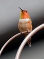 rufous-hummingbird_0434