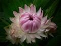 Bracteantha pink