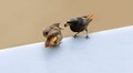 adult feeding redstart chick