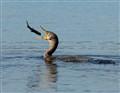 Cormorant flip Manuever