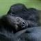 Dublin Zoo Gorilla Baby