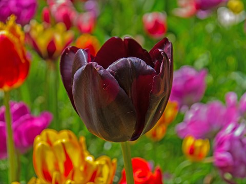 A tulip from Amsterdam.