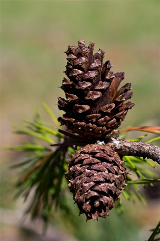 pinecone reflection