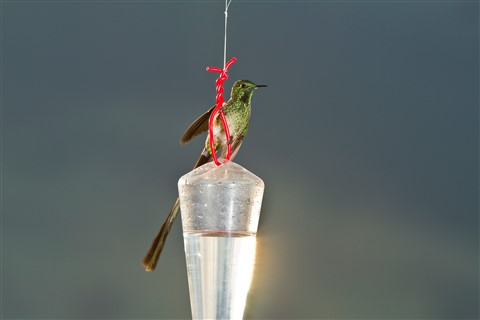 Green-tailed Trainbearer Male (Lesbia Nuna)