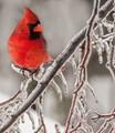 Cardinal on Ice