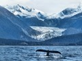 Hump Back Whale diving under waters of Lynn Canal with Herbert Glacier in background.  Near Juneau, AK