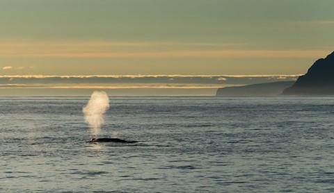 Spitsbergen Blue Whale Spout sunset