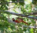 Peek-a- boo Cardinal