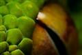 My pet Green Tree Python