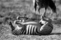 zebra_upsidedown