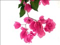 Bougainvillea Stucco