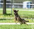 Police dog at play...