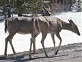 Strolling deer