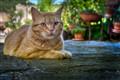 Tuscanian cat