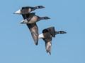 Dark-bellied Brent Goose (Branta bernicla)