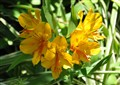 Yellow Inca Lily