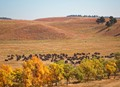 Black Hills Buffalo Roundup