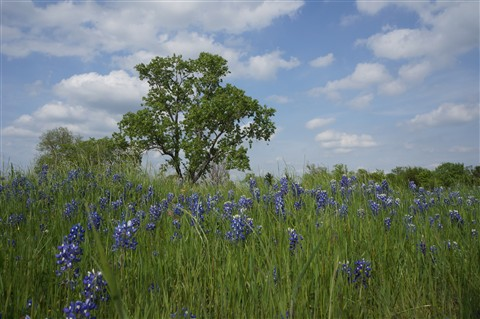 Tree and Bluebonnets
