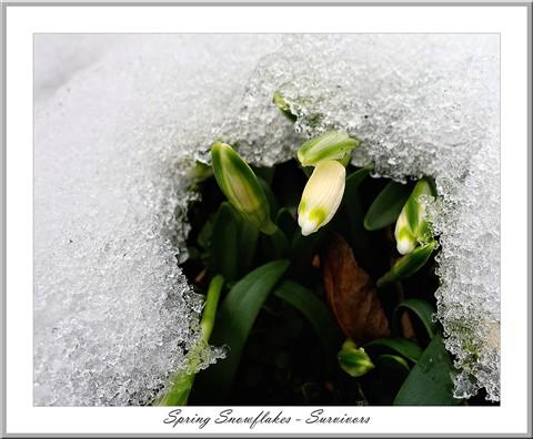 Spring snowflakes II.