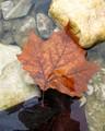 Brown Leaf in Water