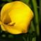 Zantedeschia albomaculata_'Calla Lily'_AJG_04