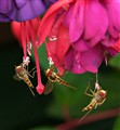 Flies find food on fragrant Fuchsia flowers.