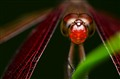 Neurothemis fluctuans (Male)