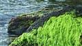 Tidepool Moss