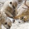 meerkats_3701