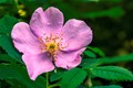 Alberta Wild Rose - rosa acicularis