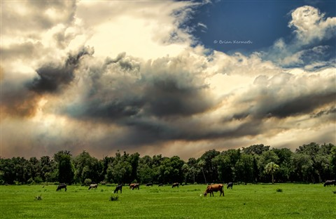 Cattle on pasture with smoke from controlled burn at Lake Woodruff National Wildlife Refuge