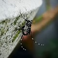 The tiger mosquito.