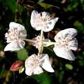 Southern Cross Flower