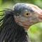 Hermit Ibis detail