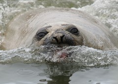 Charge of an angry elephant seal
