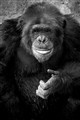 Niger The Chimp