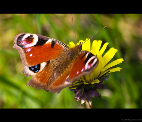 peacock butterfly, March