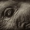 Elephant eye2
