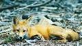 Monterey Fox