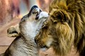 Lion and Lioness-2680