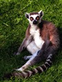 Ring Tailed Lemur   3380