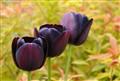 3 dark tulips