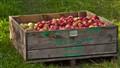 sandra's apples (1 of 1)